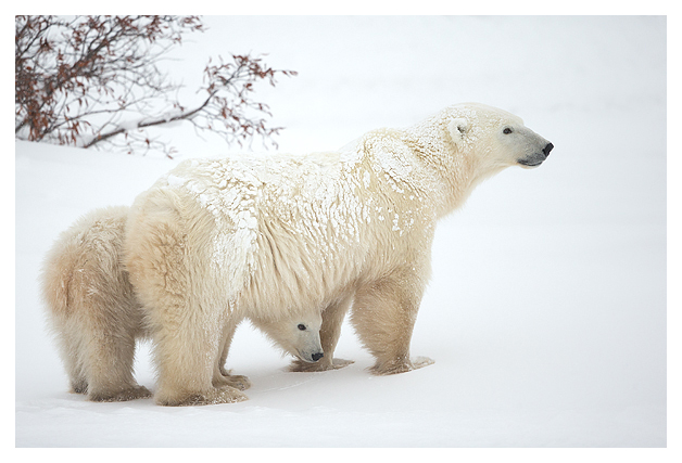 Polar-Bear-female-and-cub-1