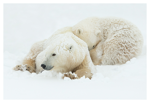 Polar-Bear-female-and-cub-2