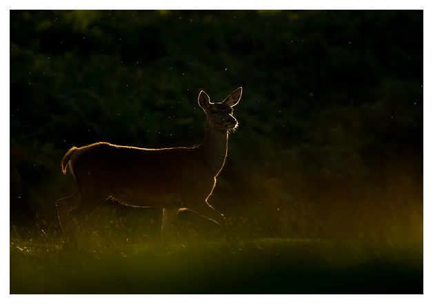 Red-Deer-Hind
