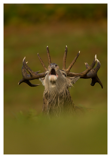 Red-Deer-Stag-Roaring-2