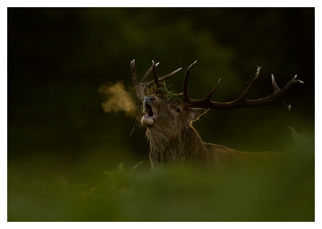 Red-Deer-Stag-Roaring-3