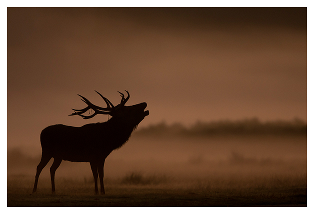 Red-Deer-Stag-roaring-at-dawn-1