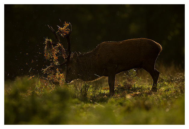 Red-Deer-Stag-thrashing-in-the-bracken-2