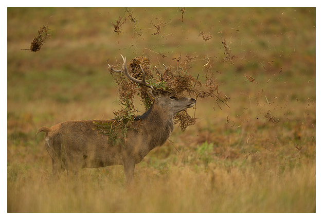 Red-Deer-Stag-thrashing-in-the-bracken