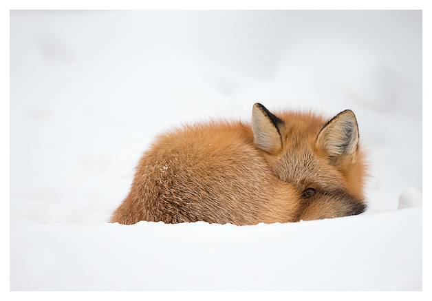 Red-Fox-in-the-snow-4