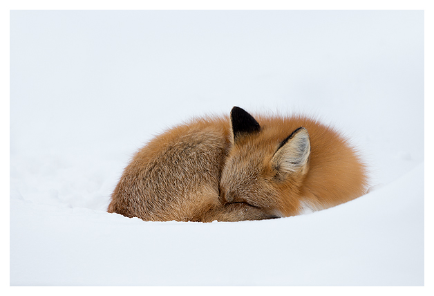 Red-Fox-in-the-snow-5