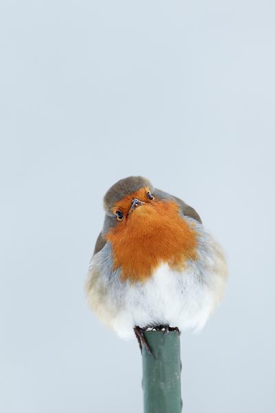 Robin-on-garden-stake