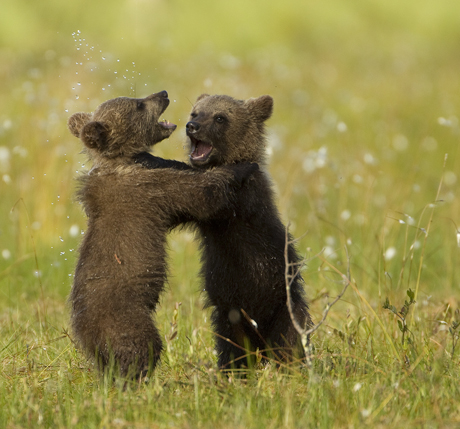 Brown Bear Cubs play fighting 1
