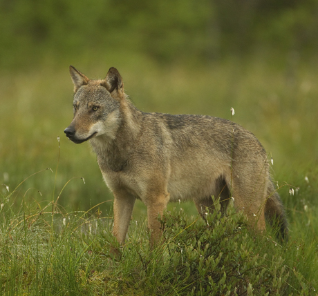 European Wolf Alpha Male 3 460