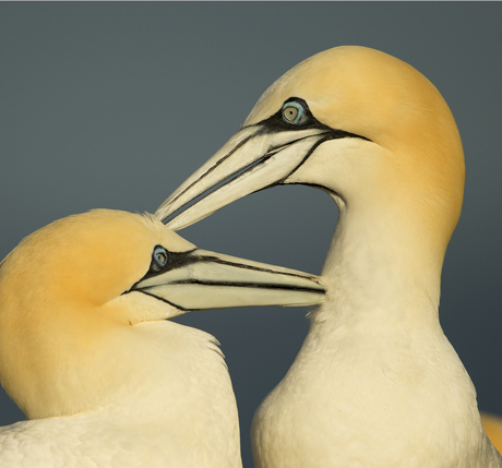 Gannets preening 2 460x429