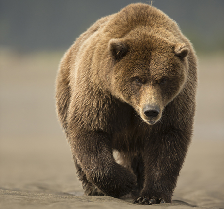 Grizzly Bear walking 1