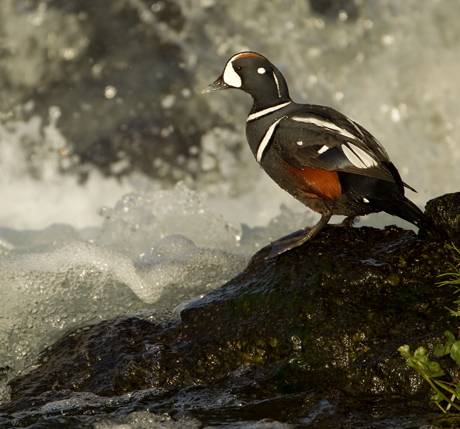 Harliquin Duck amongst rapids 2 460