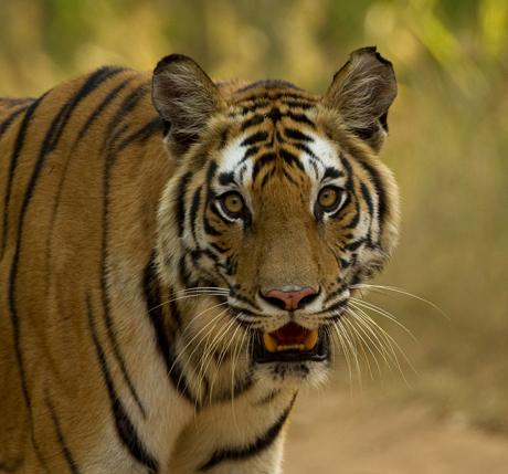 Tigress Portrait 460