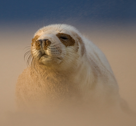 Grey-Seal-Pup-in-a-sandstorm-2-460