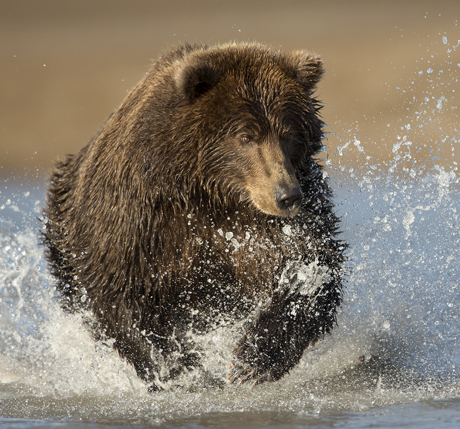 Grizzly Bear fishing 5
