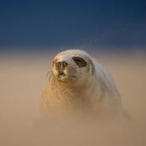 1 Grey Seal Pup DG web DG 212