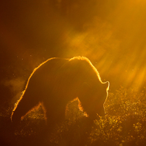Brown Bear at dawn DG 212