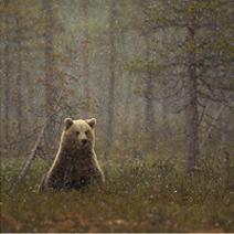 Brown Bear in a snow shower DG web 212