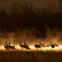 Cranes-at-dawn-Mark-Sisson- 212