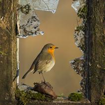 Derelict Robin