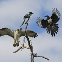 Osprey being mobbed by magpie