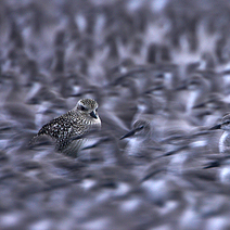 Knots and Grey Plover 1 DG 212
