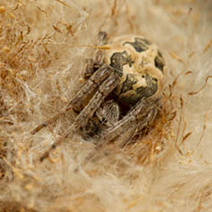 Orb spider in reed mace head