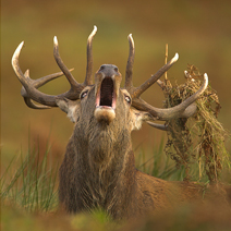 Red Deer Stag Roaring 21 DG 212