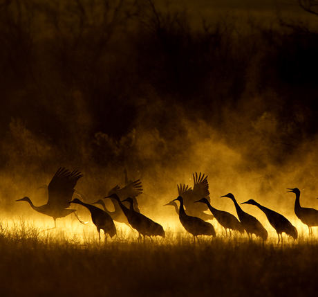 Sandhill Cranes at Dawn 2 460