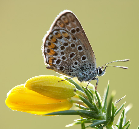 Silver-Studded-Blue-01 460
