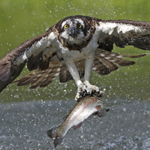 Osprey rising from water with trout