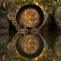 Water Vole in a Water Pipe 3 DG 212