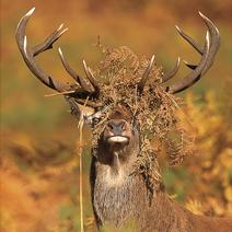 red deer stag DG 212