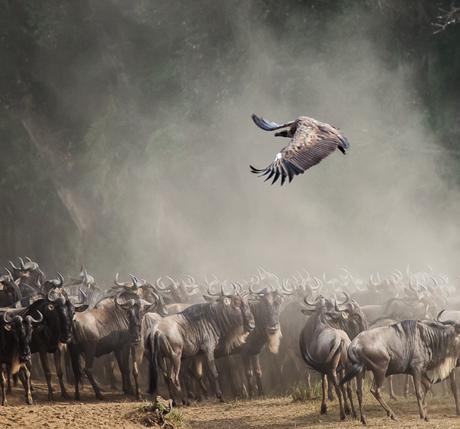 Mara-Wildebeest-460
