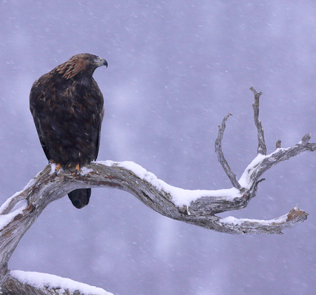 Norway-Winter-Eagles-460