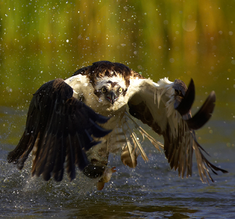 Osprey-catching-a-fish-front-cover-460