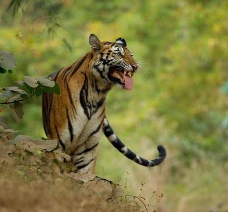 tigers-460