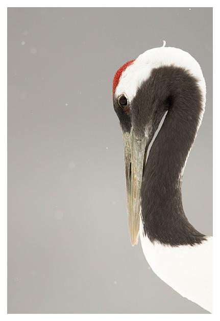 Japanese Crane 2