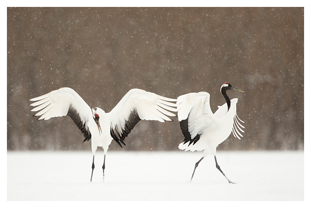 Japanese Cranes displaying