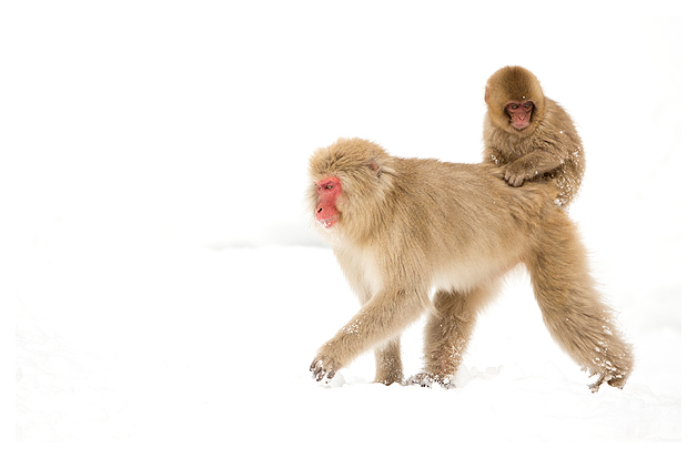 Japanese Macaque and Youngster