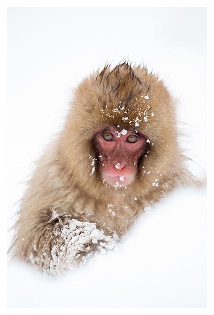Snow Monkey 3