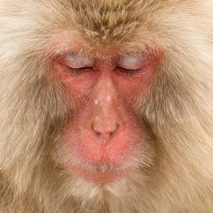 Snow-Monkey-301