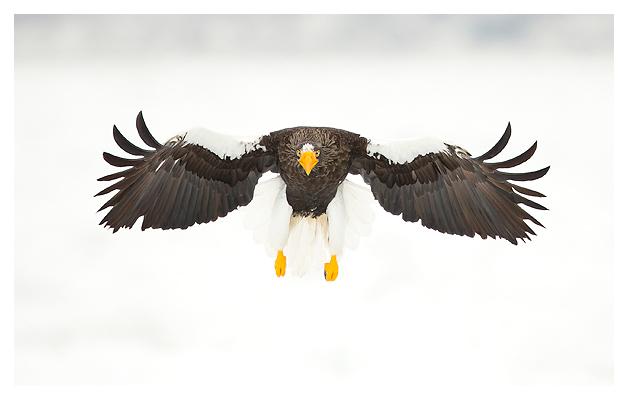 Steller's Eagle blog