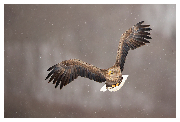White-tailed Eagle in flight 2