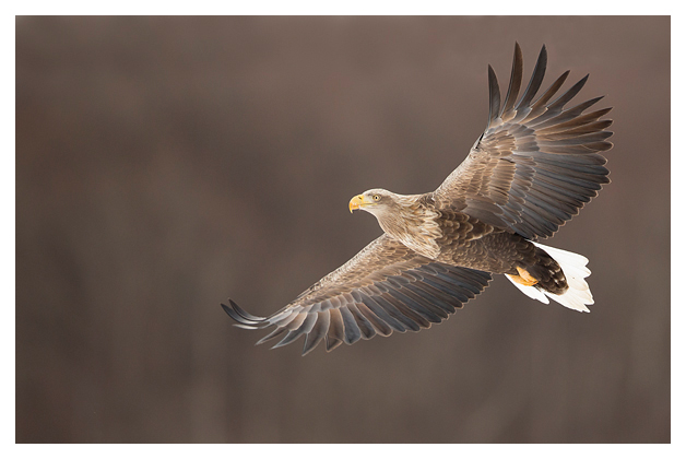 White-tailed Eagle in flight 3