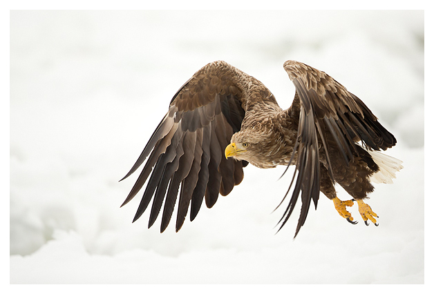 White-tailed Eagle in flight 5