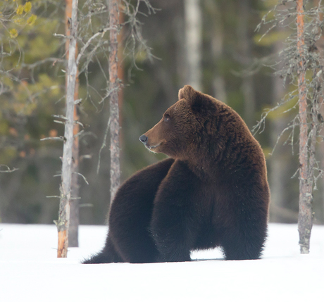Male-European-Brown-Bear-in-the-snow-2-460