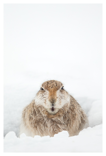 Mountain Hare resting 1