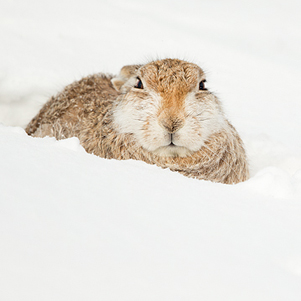 Mountain-Hare-resting-3-301