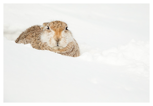Mountain Hare resting 3